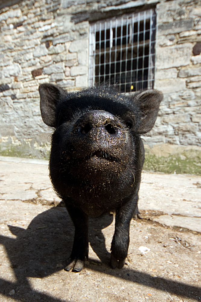 PigbyAnatolJust2012